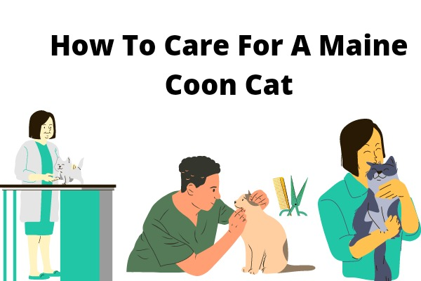 How To Care For A Maine Coon Cat