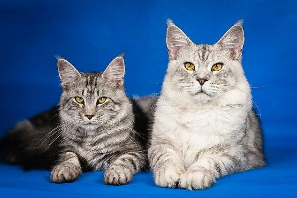 Two Maine Coons