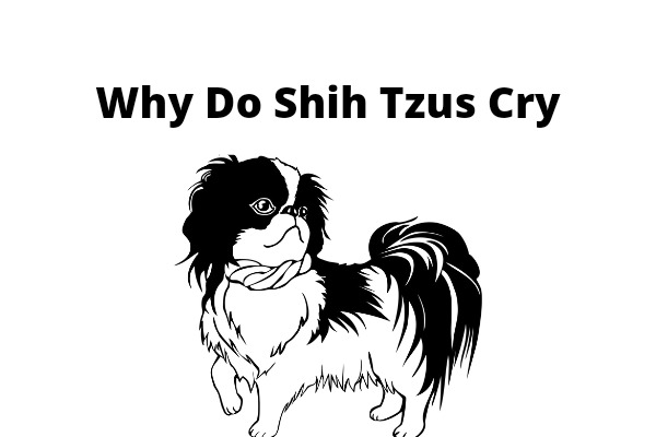 Why Do Shih Tzus Cry