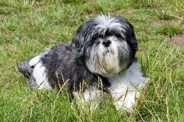 Why Do Shih Tzus Dig